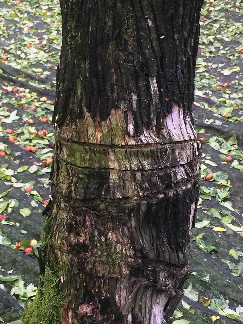 なつめの木