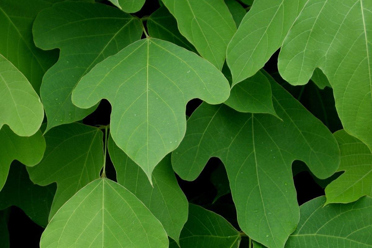 葛根湯で知られている葛根の葉